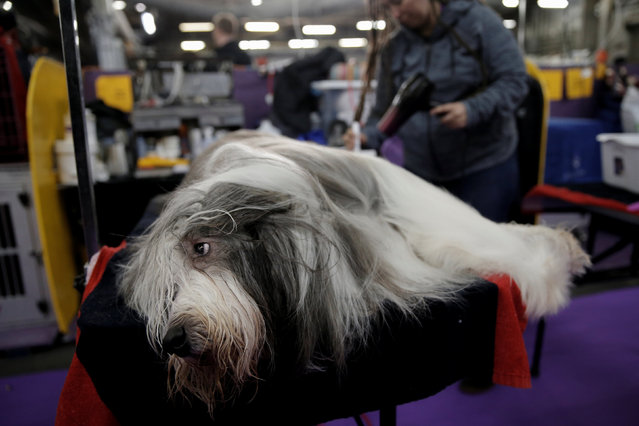 Jory, a Bearded Collie is groomed in the benching area before competition at the 141st Westminster Kennel Club Dog Show in New York City, U.S. February 13, 2017. (Photo by Mike Segar/Reuters)