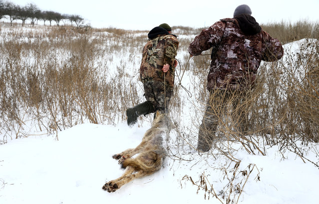 Vladimir Krivenchik (L) and Nikolay Skidan, hunters, drag a dead wolf which they caught in a trap near the village of Khrapkovo, Belarus February 1, 2017. (Photo by Vasily Fedosenko/Reuters)