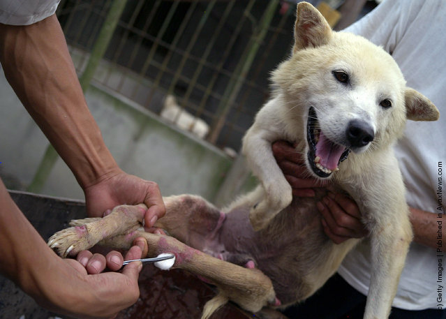 A worker disinfects the wound of a dog at an animal rescue center