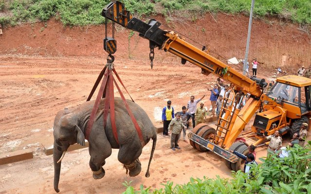 A tranquilized wild Indian elephant is lifted up with a crane as it is transported to the Amchang Wildlife Sanctuary after it wandered into a residential area in Sonapur, in Kamrup district in India's northeastern state of Assam on May 1, 2019. A wild bull elephant caused a major stir in an Indian city, wandering along the busy streets and crowds of photo-snapping onlookers before being tranquilised, officials said. (Photo by Anuwar Ali Hazarika/Barcroft Images)