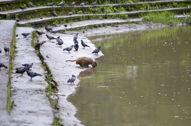 In this July 10, 2019, photo, a monkey drinks water from the Bagmati river near Pashupatinath temple in Kathmandu, Nepal. Thousands of monkeys live in the forest around the temple. Lately the monkeys from Pashupati have been wandering further away from the temple and forest area in search of food. The temple is revered by Hindus and draws pilgrims come from all over the world. The monkeys are a key feature of the temple area. (Photo by Niranjan Shrestha/AP Photo)