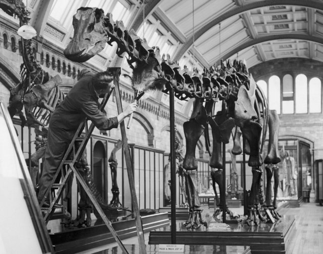 A cleaner dusts a cast of a dinosaur skeleton at the Natural History Museum in London, 12th November 1936. The cast was made from the D. Carnegiei diplodocus at the Carnegie Museum of Natural History, Pittsburgh, and was presented to the London museum in 1905. (Photo by William Vanderson/Fox Photos/Hulton Archive/Getty Images)