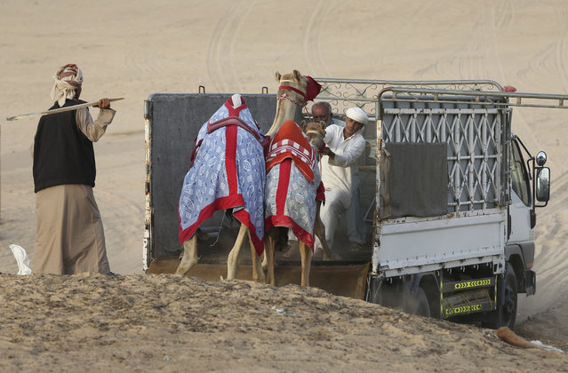 In this Saturday, April 8, 2017 photo, keepers try to load two camels on a truck at the Al Marmoom Camel Racetrack, in al-Lisaili about 40 km (25  miles) southeast of Dubai, United Arab Emirates. (Photo by Kamran Jebreili/AP Photo)