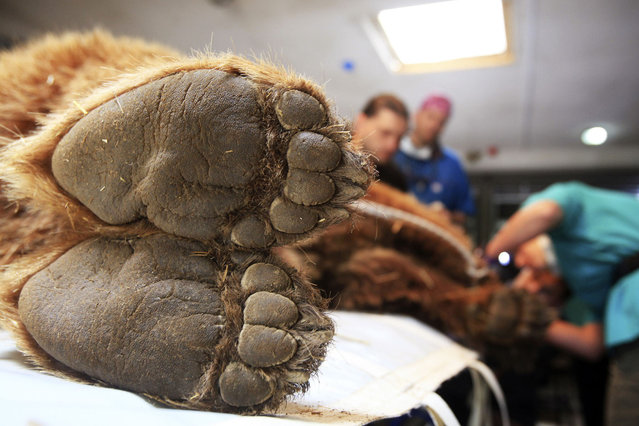 A brown bear is checked by foreign veterinaries and local staff members at the Four Paws Bear Sanctuary in Pristina, on May 9, 2014. (Photo by Hazir Reka/Reuters)