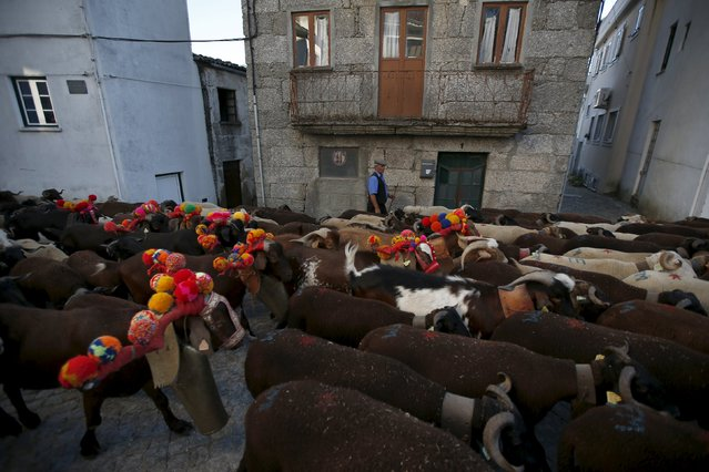 A shepherd directs a flock in the small village of Sabugueiro, as they migrate to summer pastures in Serra da Estrela, near Seia, Portugal June 27, 2015. (Photo by Rafael Marchante/Reuters)
