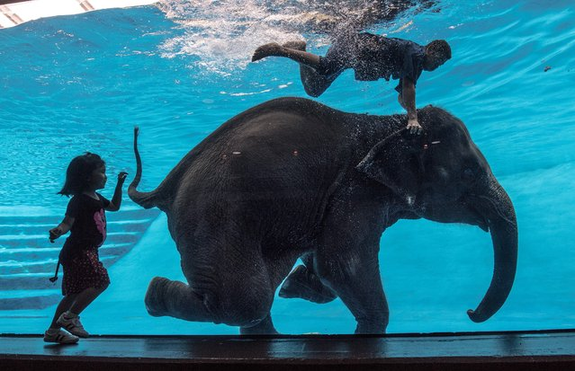 A girl watches as Saen Dao, an eight-year-old female asian elephant, and her mahout perform underwater during a show at the Khao Kheow Open Zoo in Chonburi south of Bangkok on June 1, 2017. (Photo by Roberto Schmidt/AFP Photo)