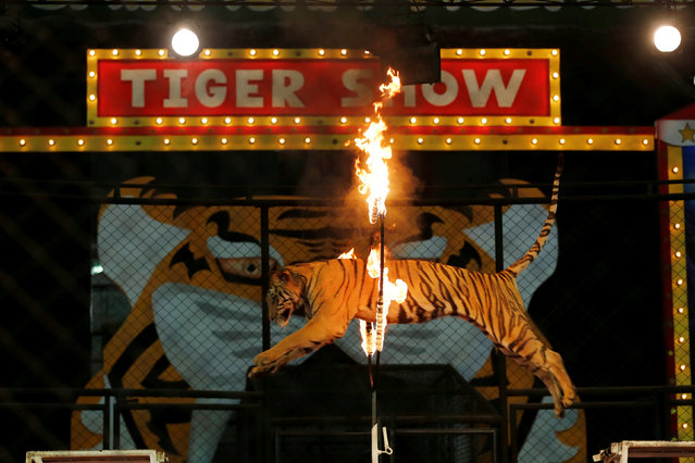 A tiger jumps through a ring of fire during a performance for tourists at the Sriracha Tiger Zoo, in Chonburi province, Thailand, June 7, 2016. (Photo by Chaiwat Subprasom/Reuters)