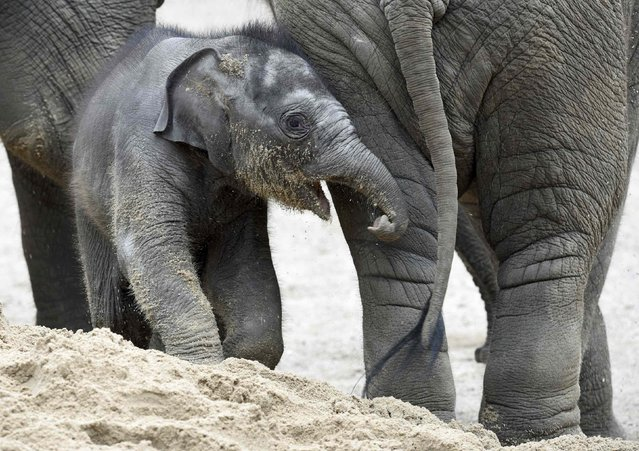 Four-week-old elephant Anjuli plays in the sand in Hagenbeck Zoo in Hamburg, northern Germany August 12, 2015. (Photo by Fabian Bimmer/Reuters)