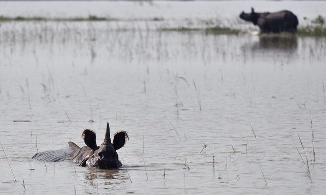 Indian one- horned rhinoceroses wade through flood waters in a submerged area of the Pobitora wildlife sanctuary in India' s northeastern Assam state on August 17, 2017. At least 221 people have died and more than 1.5 million have been displaced by monsoon flooding across India, Nepal and Bangladesh, officials said August 15, as rescuers scoured submerged villages for the missing. (Photo by Biju Boro/AFP Photo)