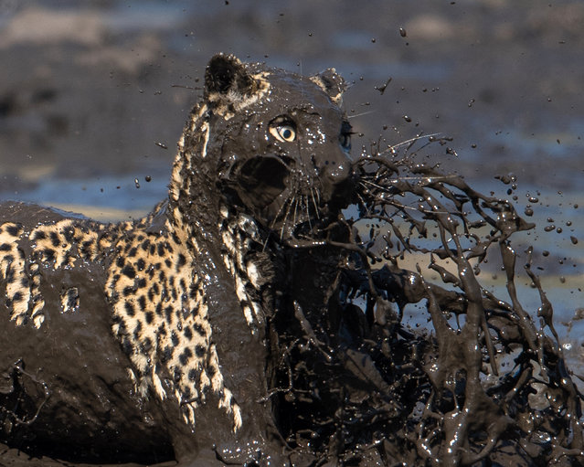 A leopard leaps into a muddy waterhole to catch a fish on August 13, 2015, in the Savuti Channel in Botswana. A leopard leaps into a muddy waterhole to catch a fish in the Savuti Channel in Botswana. The spotted predator stood poised waiting for a fish to appear – before leaping in ferociously with lightening reflexes. (Photo by Greatstock/Barcroft Media)