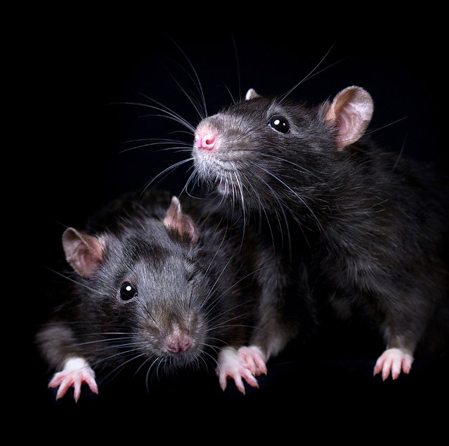 """""""I would love people to consider adopting rats – and any other animal – from animal shelters, or at least responsible breeders if they can't find rescue ones"""". (Photo by Diane Ozdamar/Caters News)"""