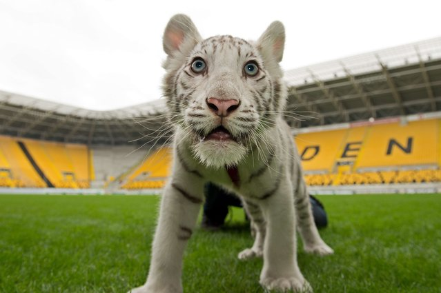Young white tiger Kijana plays at the football stadium of Dresden, eastern Germany, on September 22, 2014 during a presentation to the press by Circus Sarrasani where the 14 week old animal arrived from Zoo Stukenbrock in Western Germany. (Photo by Arno Burgi/AFP Photo/DPA)