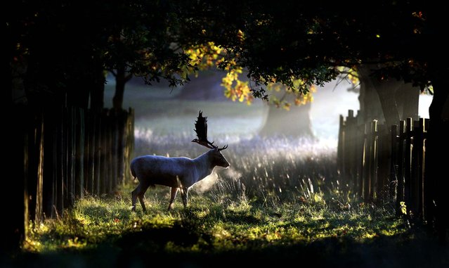 A stag walks through the early morning sunshine at Dunham Massey in Altrincham, England,  October 14, 2012. (Photo by Dave Thompson/PA)