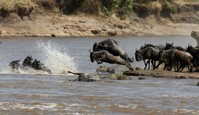 Wildebeests (connochaetes taurinus) jump to cross the Mara river during their migration to the greener pastures, between the Maasai Mara game reserve and the open plains of the Serengeti, southwest of Kenya's capital Nairobi, August 15, 2016. (Photo by Thomas Mukoya/Reuters)
