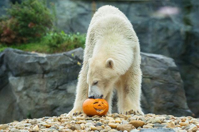 A polar bear eating from a Halloween pumpkin at the Schoenbrunn Zoo in Vienna, Austria, October 27, 2014. (Photo by Daniel Zupanc/EPA)