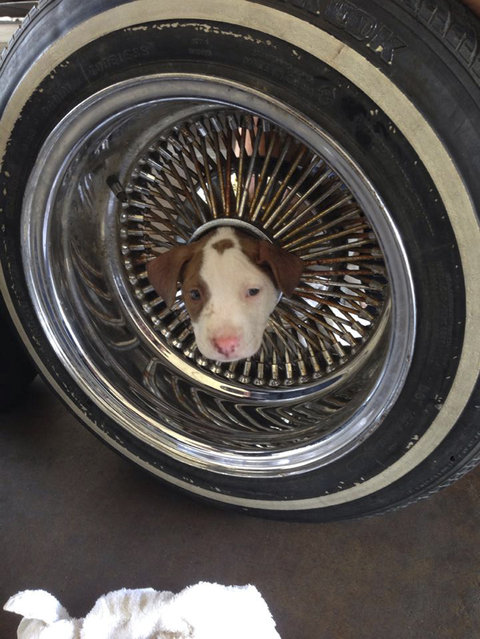 A puppy is shown with his head stuck in the middle of a car tire rim in East Bakerfield, California, June 20, 2014. The wheel and puppy were brought into the fire station by a local resident. Fire fighters used vegetable oil to free the puppy, who was otherwise unhurt. (Photo by James C. Dowell/Reuters/Kern County Fire Department)