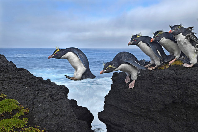 Rockhopper penguins live up to their name as they navigate the rugged coastline of Marion Island in the southern Indian Ocean. (Photo by Thomas P. Peschak)