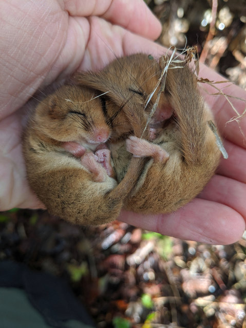 A National Trust ranger holds a pair of hazel dormice during monthly monitoring check on Cotehele estate in Cornwall, England. The National Trust is asking people to report any sightings of the endangered species. (Photo by George Holmes/National Trust)