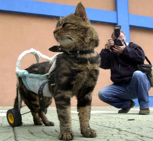 """A seven-year-old disabled cat named Cici is helped to walk by a device as she participates in """"Cat Show 2002"""" in the western Turkish city of Izmir, December 29, 2002. Cici was disabled in a traffic accident two months prior. (Photo by Reuters)"""