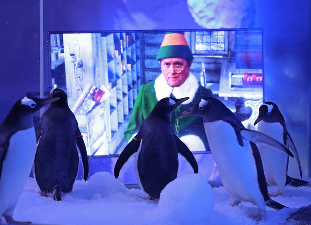 Gentoo penguins watching Christmas films at the Sea Life London aquarium on November 30, 2020. The attraction has installed two TVs, showing festive films, outside the penguin enclosure to prepare them for the stimulation of guests returning on Wednesday after the UK's lockdown is lifted. (Photo by Yui Mok/PA Images via Getty Images)