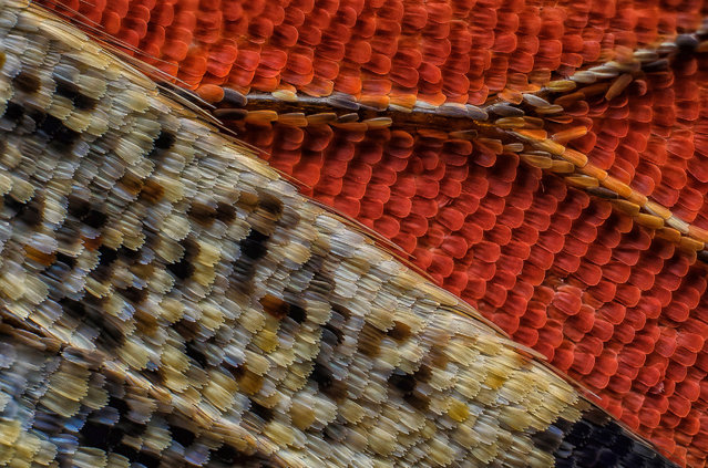 11th Place: Scales of a butterfly wing underside (Vanessa atalanta). (Photo by Francis Sneyers/Nikon's Small World 2016)
