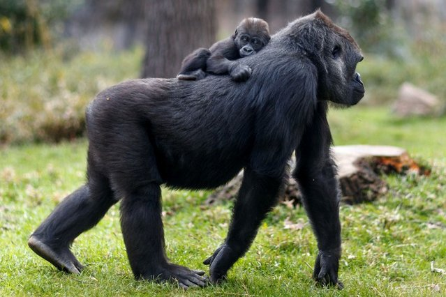 Gorilla mother Jamani and her baby, Bomassa, roam the Forest Glade exhibit at the North Carolina Zoo in Asheboro, N.C. (Photo by Jerry Wolford / News & Record via AP Photo)