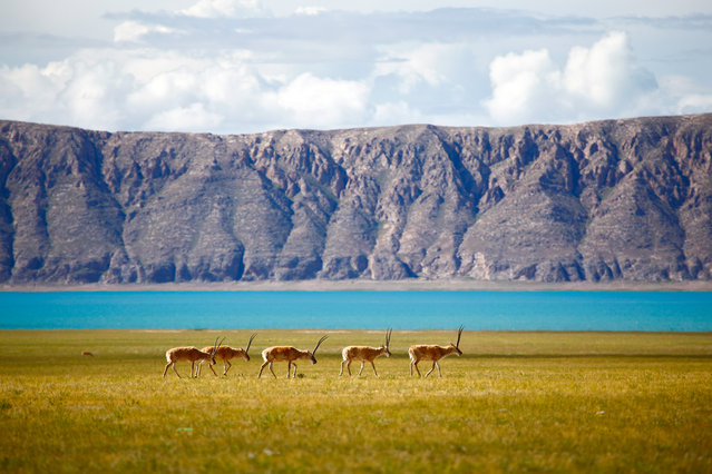 """Tibetan antelope"". A group of Tibetan antelopes were travelling along a huge lake. (Photo and caption by Yunke Li/National Geographic Traveler Photo Contest)"