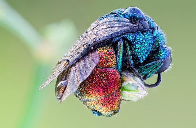 Sleeping Jewel Wasp. Holopyga generosa, Chrysididae; Size: 7 mm. (John Hallmén)