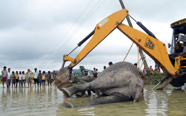 An excavator removes the carcass of an elephant from a paddy field after it was electrocuted at Keribakori village, in Nagaon district in the northeastern Indian state of Assam, July 8, 2013. Two elephants were electrocuted by a falling power line in a paddy field on Monday, forest officials said. (Photo by Reuters/Stringer)