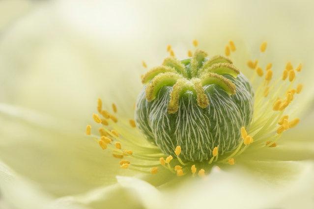 Poppy by Jane Dibnah, Shropshire, United Kingdom. (Photo by Jane Dibnah/International Garden Photographer of the Year)