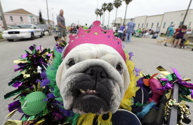 Mona sits in her cart as she waits for the start of the Krewe of Barkus and Meoux parade along the seawall in Galveston, Texas, Sunday, February 15, 2015. (Photo by David J. Phillip/AP Photo)