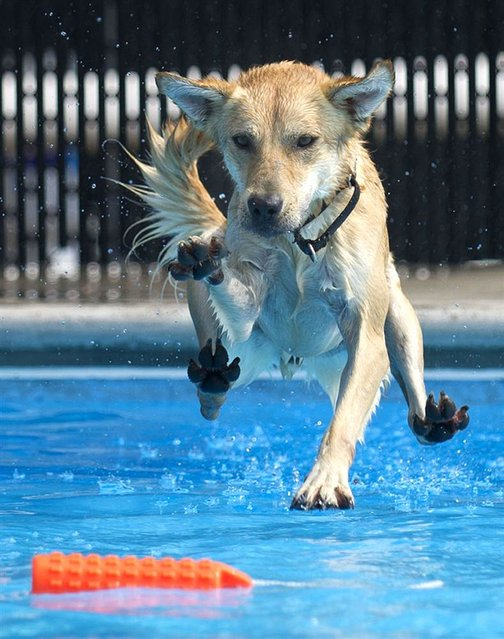 Pluto is about to make a splash during Doggie Dip Day at Inskip Pool in Knoxville, Tenn., on September 8, 2013. (Photo by Adam Lau/Knoxville News Sentinel via AP)