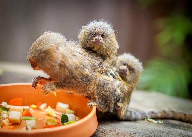 "An undated handout picture made available by the Symbio Wildlife Park on 28 November 2016 shows three Pygmy Marmoset monkeys including an adult male, a female juvenile and a four-week-old baby, at the Symbio Wildlife Park in Helensburgh, South of Sydney, New South Wales, Australia. Officers were called to the wildlife park in Helensburgh on 26 November, after staff discovered the monkeys were missing from their enclosure. According to reports on 27 November, two men have been charged with stealing the three rare monkeys after they were found while driving south-west Sydney with one of the missing monkeys, the four-week-old one. Wollongong Police found the missing female juvenile, Sofia, in the Campbelltown area on 27 November, and returned her to the care of the zoo. The male marmoset, father ""Gomez"", was reported still missing. (Photo by EPA/Symbio Wildlife Park)"