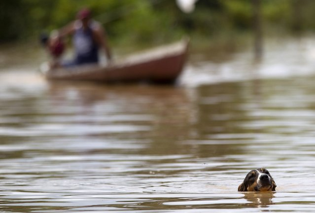 A dog swims as a resident navigates his boat in a neighbourhood flooded by the Purus river, which continues to rise from days of heavy rainfall in the region, in Boca do Acre, Amazonas state March 14, 2015. According the state civil defense, more than 20,000 people have been left homeless along the Purus river, where incessant rains have flooded the area and caused the river to burst their banks. (Photo by Bruno Kelly/Reuters)
