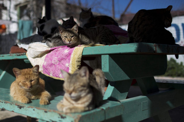 Street cats rest in the shelter house for feral cats at the SPCA (Society for Prevention of Cruelty to Animals) in Jerusalem, Israel, 06 January 2016. (Photo by Abir Sultan/EPA)