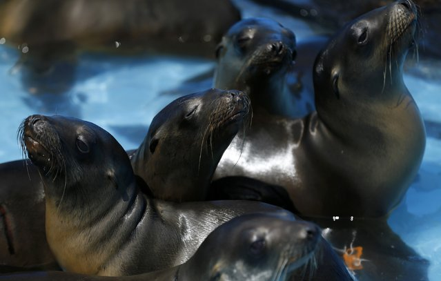 Rescued malnourished sea lions rest in the sun at Sea World in San Diego, California March 17, 2015. (Photo by Mike Blake/Reuters)