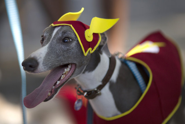 "A dog wears ""The Flash"" costume for a carnival pet parade in Rio de Janeiro, Brazil, Sunday, January 31, 2016. (Photo by Leo Correa/AP Photo)"