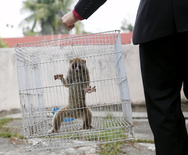 A slow loris is carried in a cage by a wildlife department official at the head office in Kuala Lumpur March 24, 2015. (Photo by Olivia Harris/Reuters)
