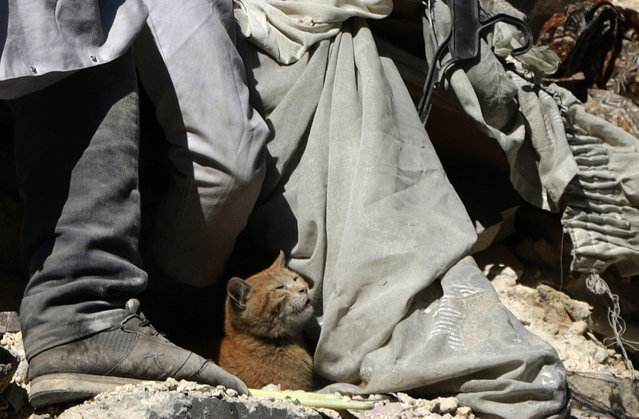 A cat is seen among debris of a damaged building as the members of the civil defense team try to search casualties after the war crafts belonging to the Russian army carried out airstrikes on opposition controlled residential areas at the al Qallasa neighbourhood in Aleppo, Syria on February 4, 2016. (Photo by Beha el Halebi/Anadolu Agency/Getty Images)