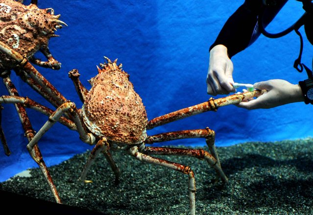 An aquarium diver brushes the leg of a Japanese spider crab during the year-end cleaning operation at the Epson Shinagawa Aqua Stadium in Tokyo on December 28, 2013. The aquarium is carrying out year-end general cleaning of their facilities. (Photo by Toshifumi Kitamura/AFP Photo)