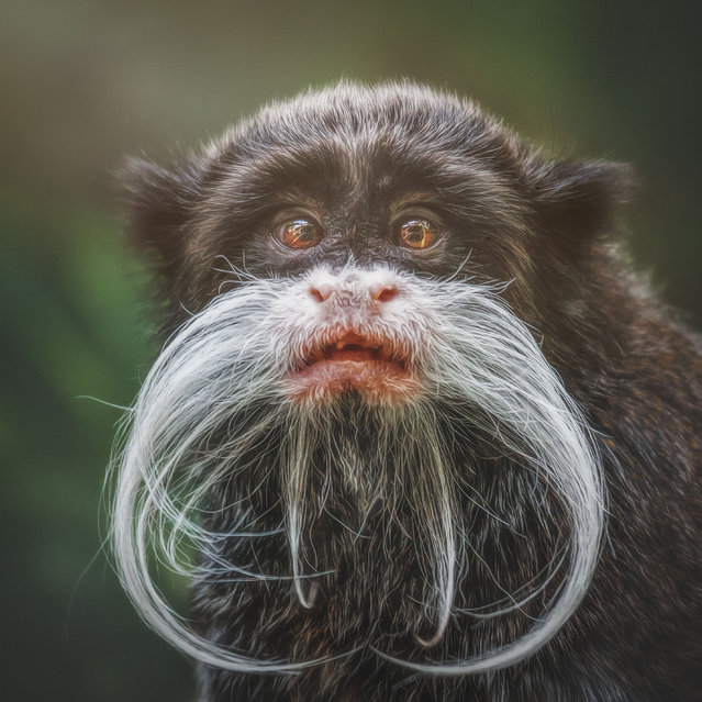 Emperor tamarin, Anori. (Photo by Manuela Kulpa/Caters News)