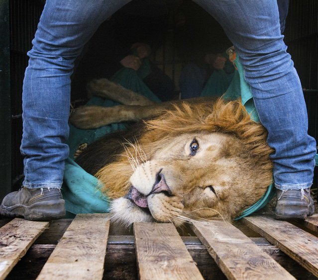 Zoo keepers prepare a sedated lion for transportation at Burgers Zoo in Arnhem, The Netherlands, March 10, 2016. Five years old lion Zeus will be transported to the Zoo of Sosto in Hungary. (Photo by Piroschka Van De Wouw/EPA)