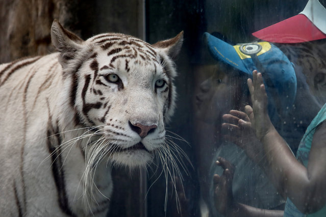 """A child tries to kiss Civa Sumac, a White Bengal Tiger, winner of the """"La Garra de Oro"""" (The Golden Claw) contest at the Huachipa Zoo in Lima, Peru January 6, 2017. (Photo by Guadalupe Pardo/Reuters)"""