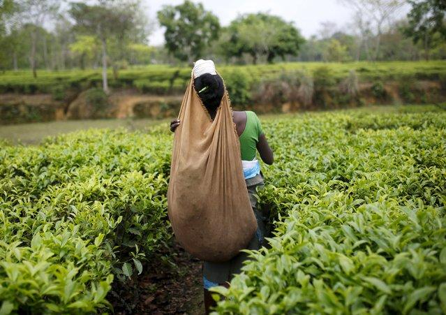 A tea garden worker plucks tea leaves inside Aideobarie Tea Estate in Jorhat in Assam, India, April 21, 2015. (Photo by Ahmad Masood/Reuters)