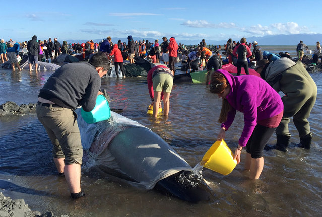 Volunteers pour water onto some of the hundreds of stranded pilot whales still alive after one of the country's largest recorded mass whale strandings, in Golden Bay, at the top of New Zealand's South Island, February 10, 2017. (Photo by Anthony Phelps/Reuters)