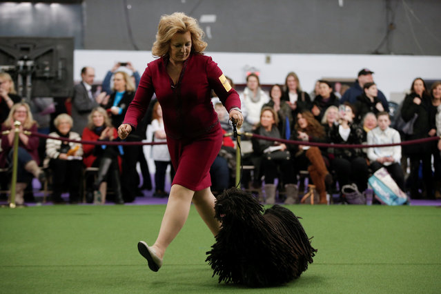 Preston, a Puli is run by handler Linda Pitts during competition at the 141st Westminster Kennel Club Dog Show in New York City, U.S., February 13, 2017. (Photo by Mike Segar/Reuters)