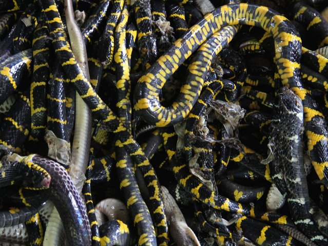 Killed snakes are taken to be skinned in the village of Kertasura, Cirebon. (Photo by Nurcholis Anhari Lubis/Getty Images)