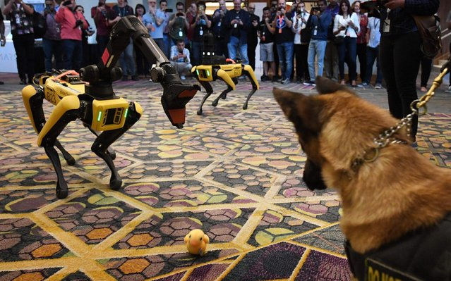 Kedy the Security K9 meets robotic dogs called Spot and built by Boston Dynamics during the Amazon Re:MARS conference on robotics and artificial intelligence at the Aria Hotel in Las Vegas, Nevada on June 4, 2019. (Photo by Mark Ralston/AFP Photo)