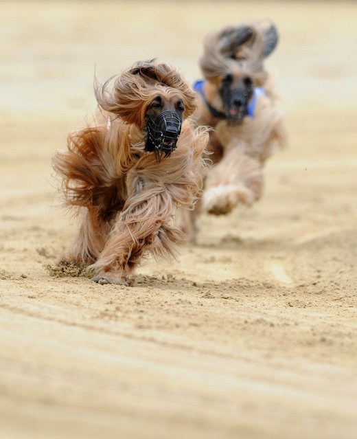 Muzzled Afghan hounds race around the sandy circuit of the Windhunderennen- bahn in Gelsenkirchen as they compete in the Gelsenkirchen Grand Prix 24 May 2015. (Photo by Caroline Seidel/EPA)