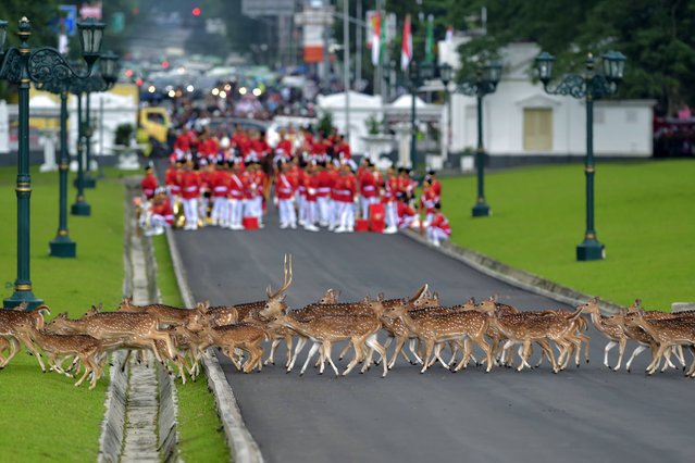 Deers walk past Indonesia's honour guard as they wait for the arrival of Saudi Arabia's King Salman bin Abdul Aziz at the presidential palace in Bogor on March 1, 2017. Cheering crowds welcomed King Salman on March 1 as he began the first visit by a Saudi monarch to Indonesia for almost 50 years, seeking stronger economic ties with the world's most populous Muslim-majority country. (Photo by Adek Berry/AFP Photo)